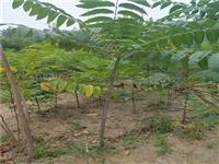 產量高香椿苗直銷價格香椿幼苗價格