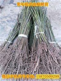 小米油桐樹苗出售