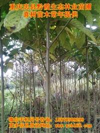 喜樹樹苗價格