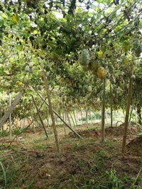 果树种苗贵州苗木市场