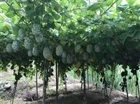 果树种苗厂家