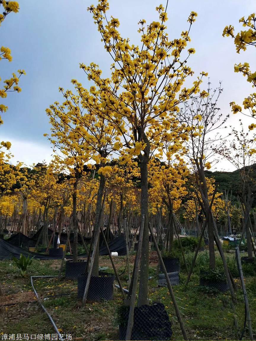 春天枝条叶疏,清明节前后会开漂亮的黄花;夏天长叶结果荚;秋天枝叶