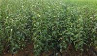 圆黄梨树苗价格报价  梨树苗优质产地货源充足