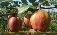 梨树苗  梨树苗价格  梨树苗出售  梨树苗产地