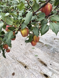 梨树苗基地直销  早酥红梨树苗基地报价
