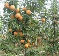 梨树苗 早酥红梨树苗-全红梨树苗-秋月梨树苗-黄金梨树苗