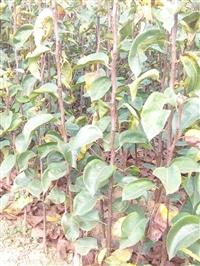 梨树苗价格  批发梨树苗  梨树苗种植基地