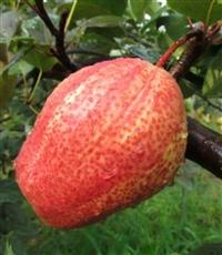 梨树苗  梨树苗价格  优质梨树苗批发基地供应商