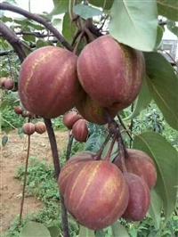 供应梨树苗  出售梨树苗  批发梨树苗  梨树苗直销厂家