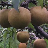 梨树苗  梨苗基地  梨苗批发  梨苗价格 出售梨树苗