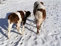云南省养牛大户养牛价格