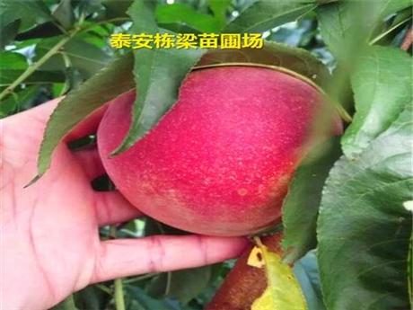 麻江县帅师香桃苗批发 中蟠21桃树苗品种规律