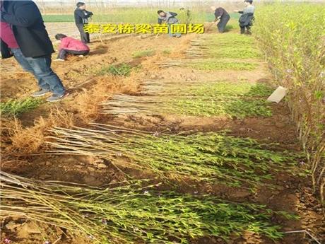 普安县冬桃树苗供应 中油4号桃苗成活率高