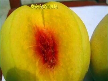 威宁县春晓桃苗供应 白如玉桃苗品种纯