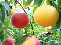 七星关区黄金脆桃苗供应 嫁接油桃桃树苗种植技术