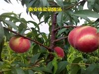 冬雪王桃树种苗多少钱 冬桃树苗规格全