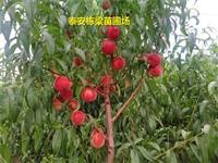 雪桃桃树苗哪里有 曦春桃树苗成活率高