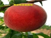 黔西县黄金蟠桃树种苗批发 126油桃桃树苗硬度高