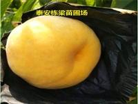 三穗县嫁接黄金蟠桃苗批发 金童5号桃树种苗甜度高
