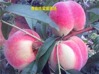 特早熟立夏红桃苗怎么卖 金秋红密桃苗品种规律