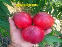 凯里春雪桃苗供应 永联蜜桃桃树种苗价格低
