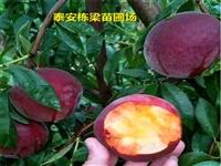 油桃桃树苗批发 油桃桃树苗成活率高