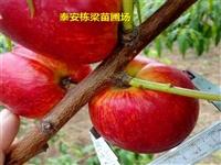 映霜红桃苗基地 风味太后桃树苗品种纯