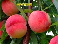 开阳县佛桃桃树苗批发 沂蒙霜红桃苗成活率高