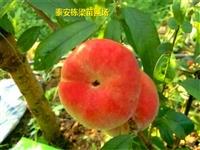 红花岗区风味太后桃树苗批发 中熟北京14号桃苗货源充足