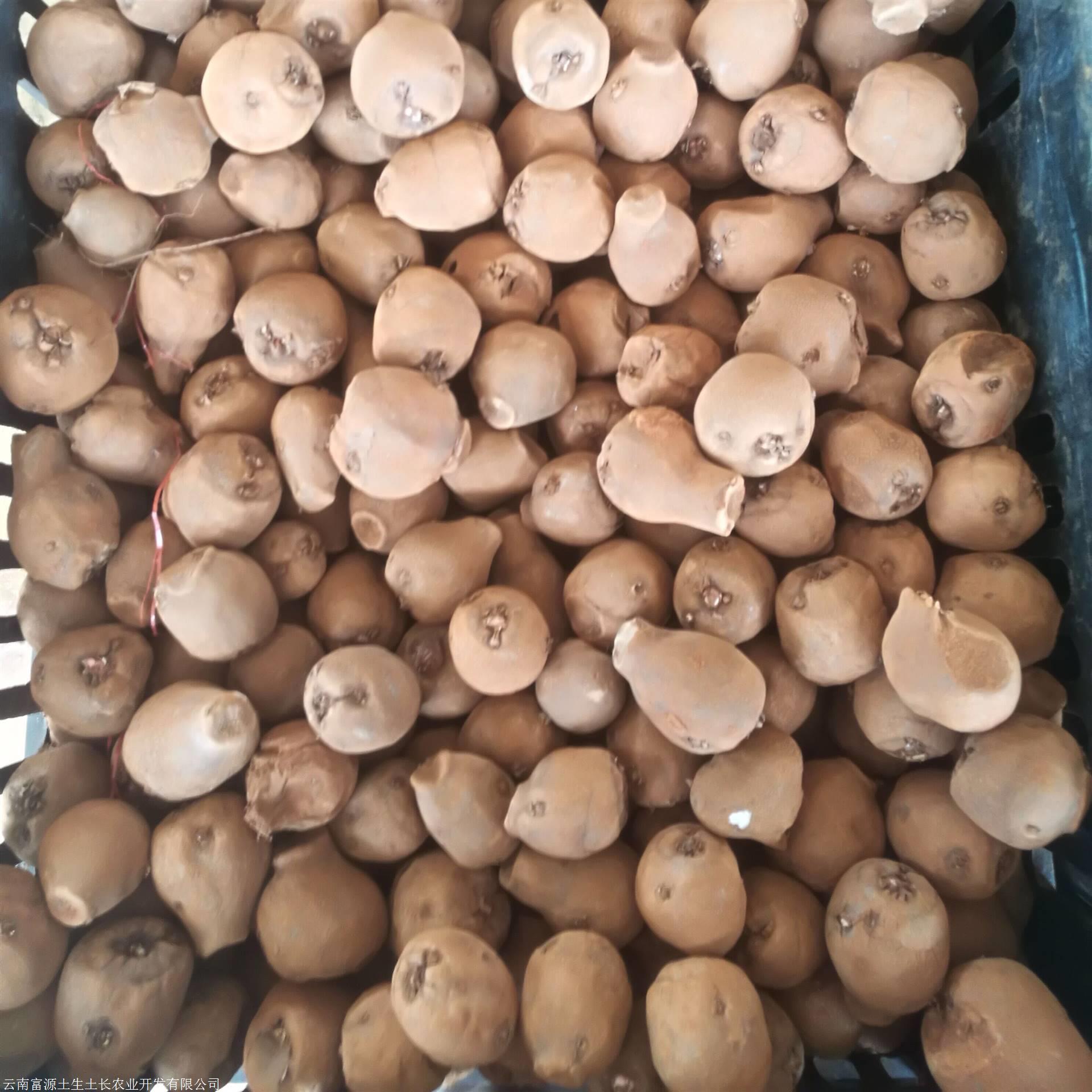 魔芋种子_云南文山魔芋种子销售 花魔芋种子批发