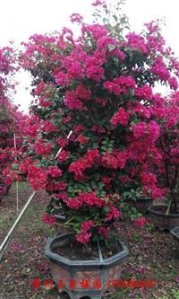 三角梅盆景批发供应 现货供应 各种室内花卉三角梅盆栽