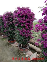 2米紫色三角梅柱 四季开花三角梅柱 海南三角梅