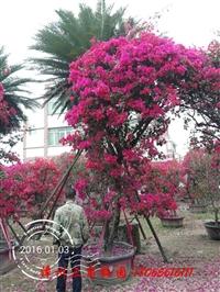 三角梅盆栽桩景 现货供应 各种室内花卉三角梅盆栽
