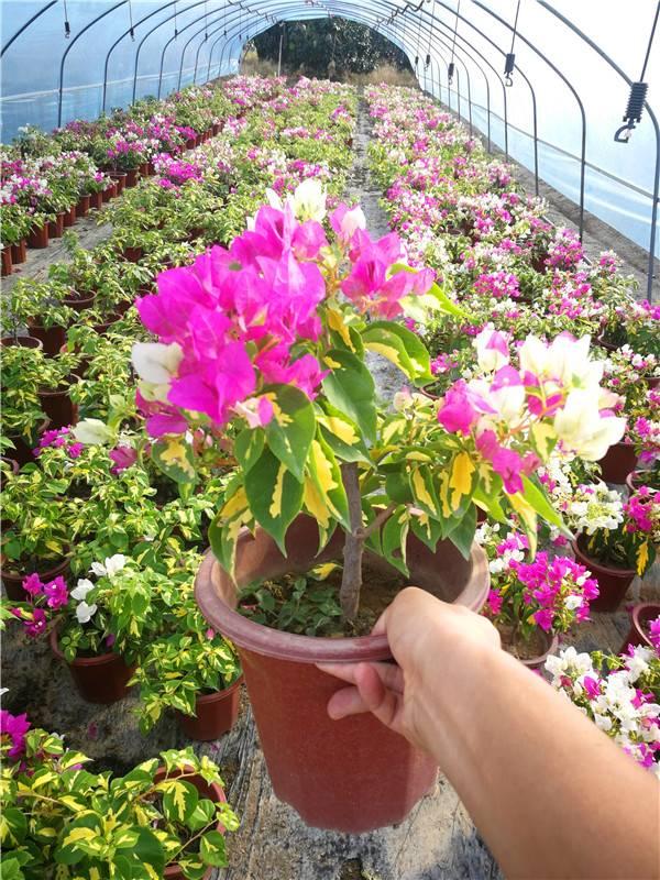 金心双色三角梅 现货供应 各种室内花卉三角梅盆栽