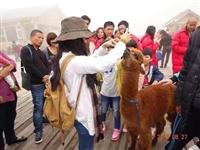 俊辉羊驼出租羊驼展览羊驼出售