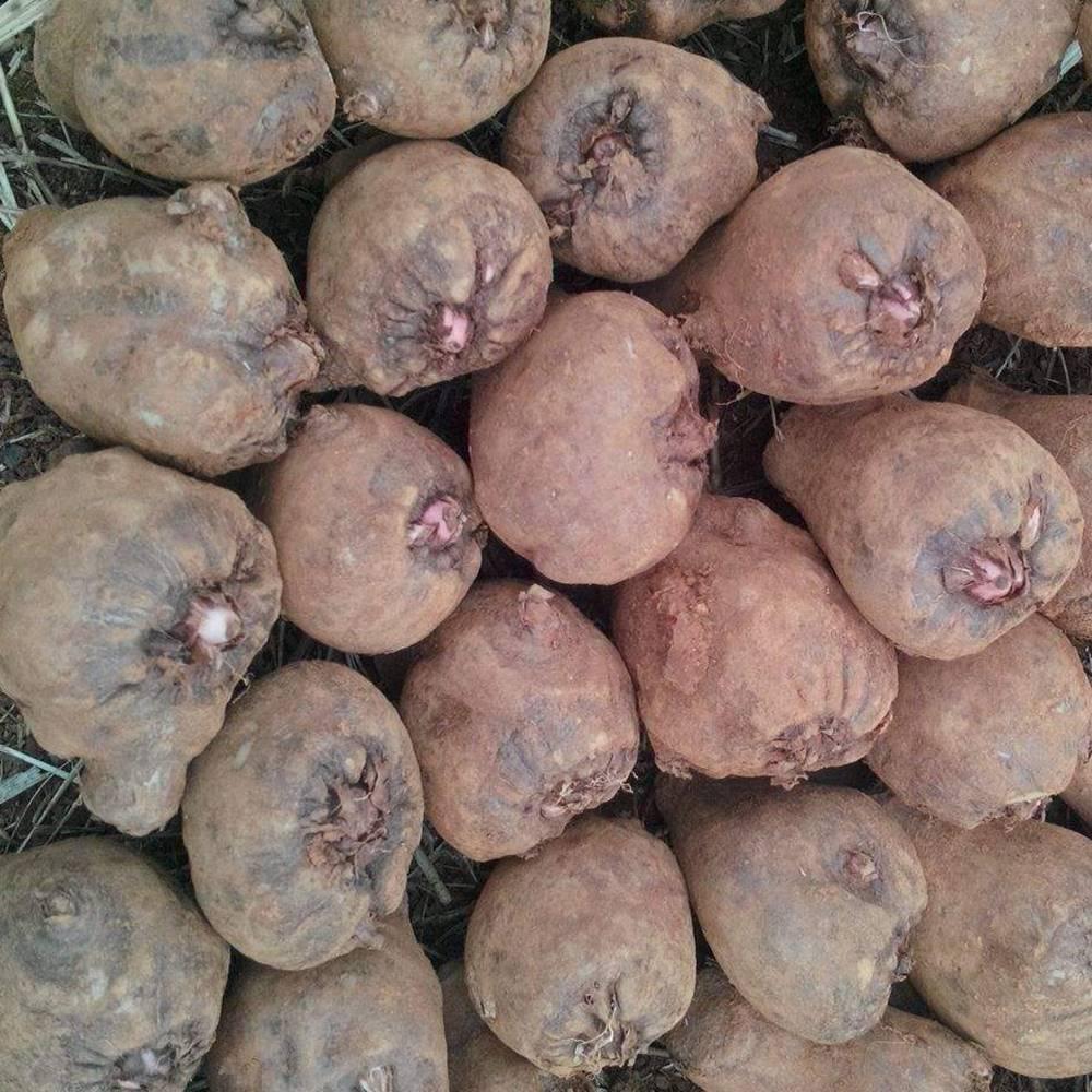 魔芋种子_四川乐山魔芋种子销售基地 魔芋种子批发