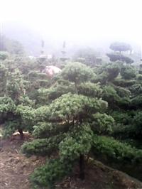 湖南瀏陽綠化苗木花木羅漢松造型