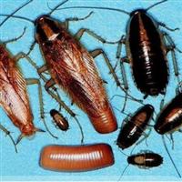 家庭滅蟑螂好辦法