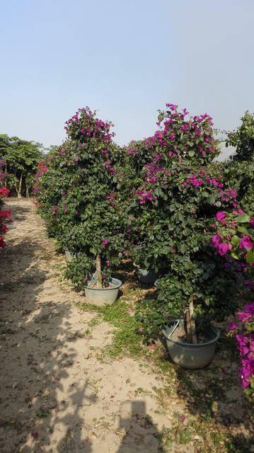 紫色花三角梅,高度1.8M,冠幅50-60CM,地径3-4CM