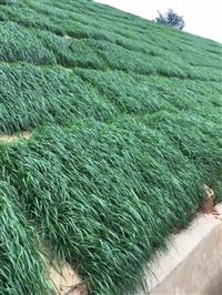 佛山邊坡綠化施工專用百喜草種子