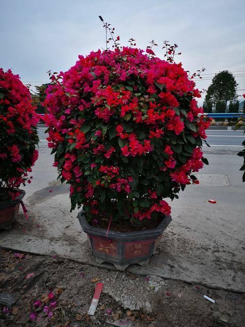 红色花1.2、1.5米球状
