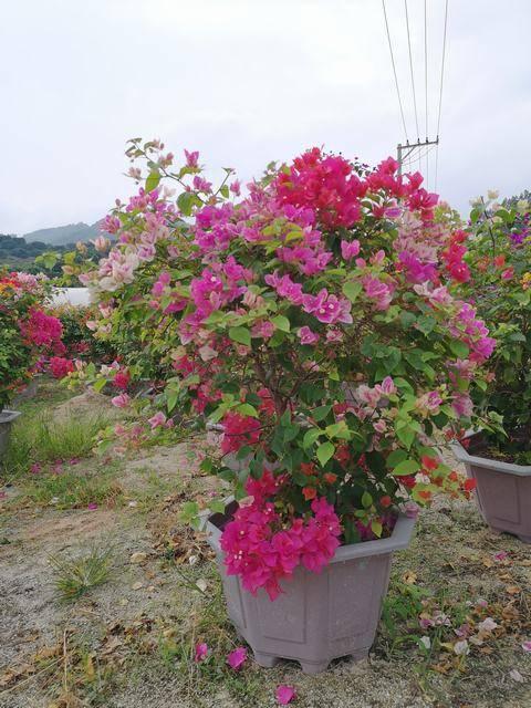一树多花,高100-120CM,冠100-120CM,多色系,艳丽饱满