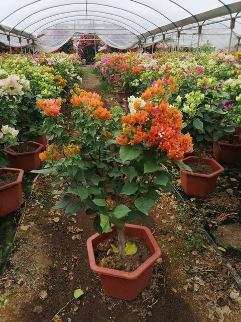 一树多花,高50-80CM,冠40-70CM,红六 角盆