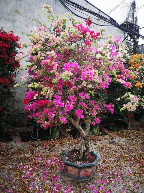 一树多花,高220-300CM,冠150-200CM,地径10-13CM