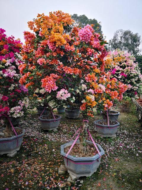 一树多花,高220-250CM,冠130-160CM,地径10-15CM