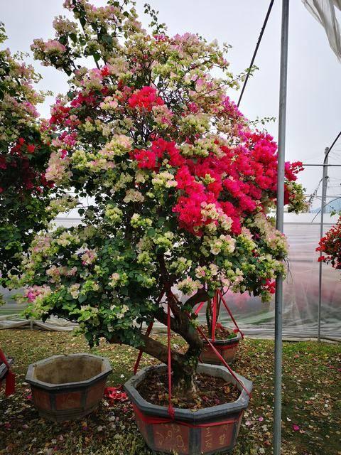 一树多花,高250-300CM,冠150-200CM,地径18-22CM