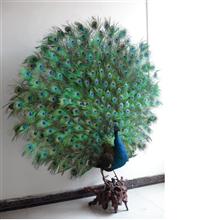 蓝孔雀标本价格