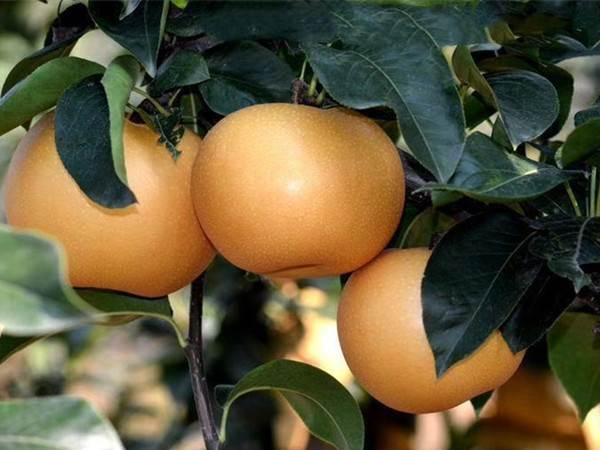 秋月梨梨树苗价格
