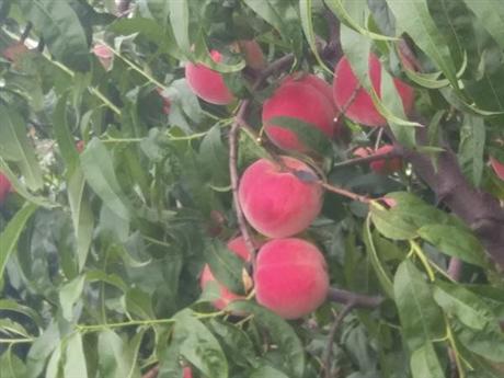 油蟠7桃树苗价格