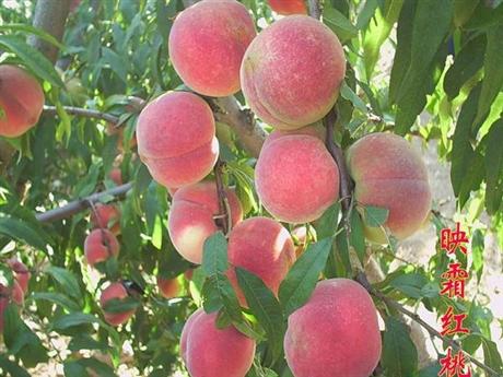 桃树苗的价格